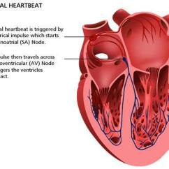 Heart Diagram Nodes Minn Kota Battery Charger Wiring Pictures Of Atrioventricular Node
