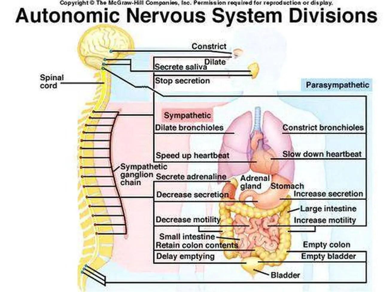 Pictures Of Autonomic Nervous System
