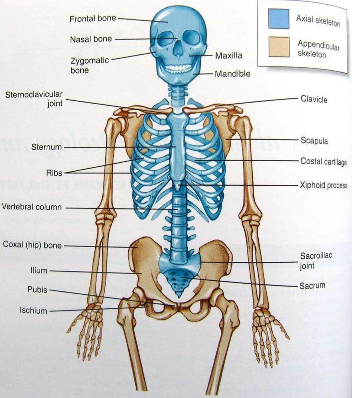 axial skeleton skull diagram jvc radio update pictures of