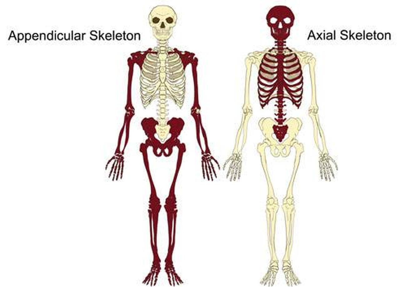 Pictures Of Axial Skeletonhealthiack