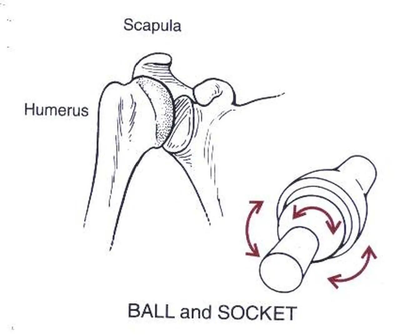 shoulder diagram shoulder joint diagram
