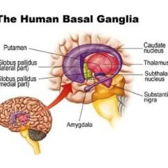 Human Brain Diagram Limbic System 2003 Chevy Silverado 1500 Hd Radio Wiring Pictures Of Basal Ganglia