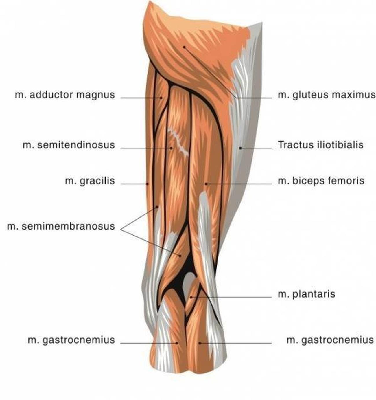 Pictures Of Biceps Femoris Tendons | Healthiack