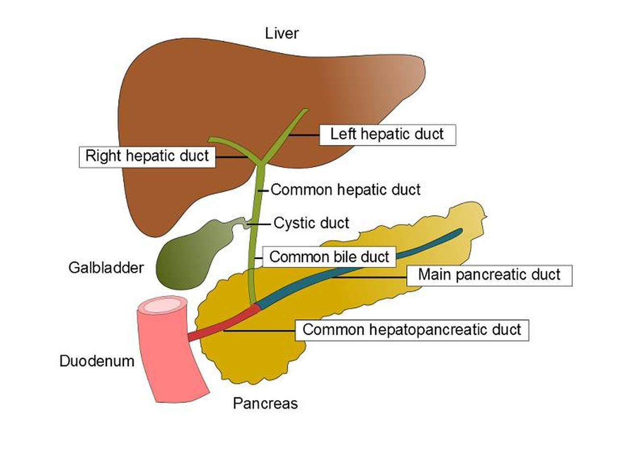 Pictures Of Biliary System