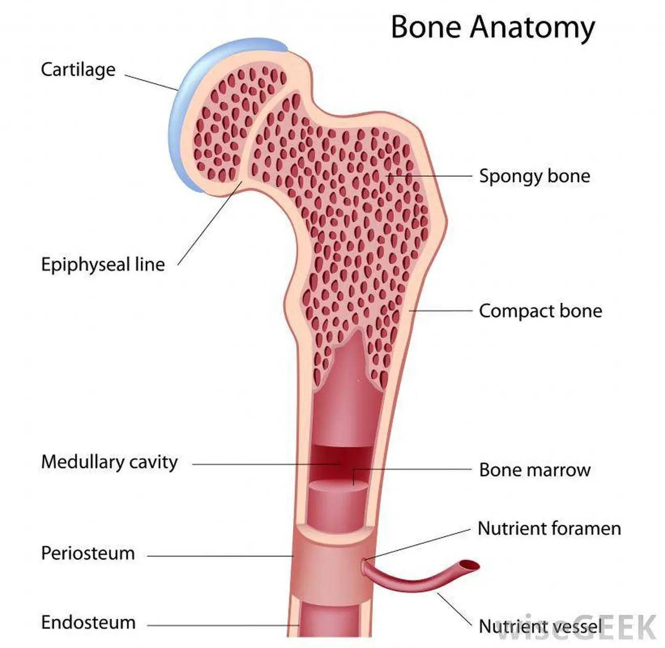 Pictures Of Bone Marrowhealthiack