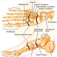 Human Foot Skeleton Diagram Labeled 3 Way Toggle Switch Pictures Of Bones The Feet