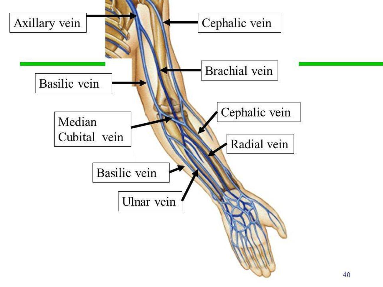 antecubital fossa diagram wire for light switch and outlet pictures of brachial veinhealthiack