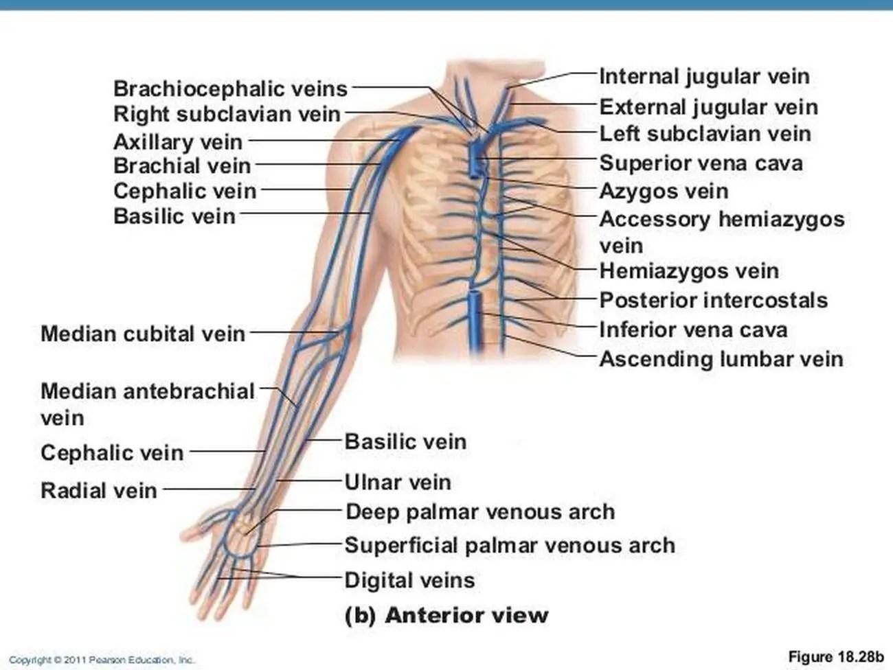 antecubital fossa diagram combination switch wiring pictures of brachial vein