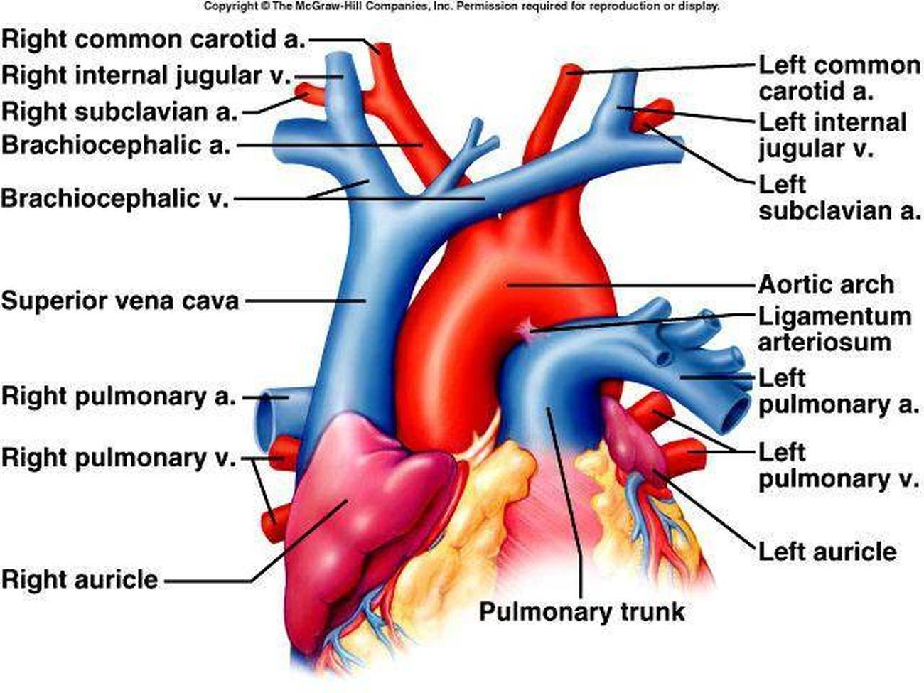carotid artery diagram ignition system wiring pictures of brachiocephalic vein