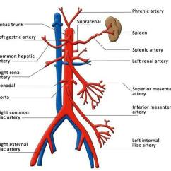 Labeled Diagram Of Abdominal Vasculature Honeywell Frost Protection Kit Wiring Pictures Celiac Artery
