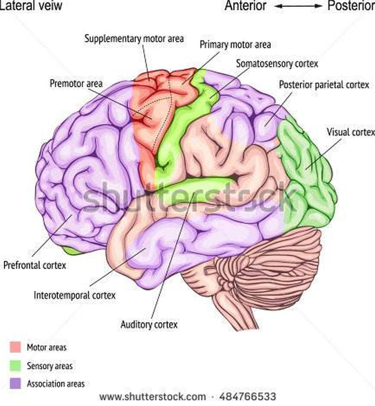 human brain diagram cerebrum 7 way trailer connector wiring pictures of cerebral cortex