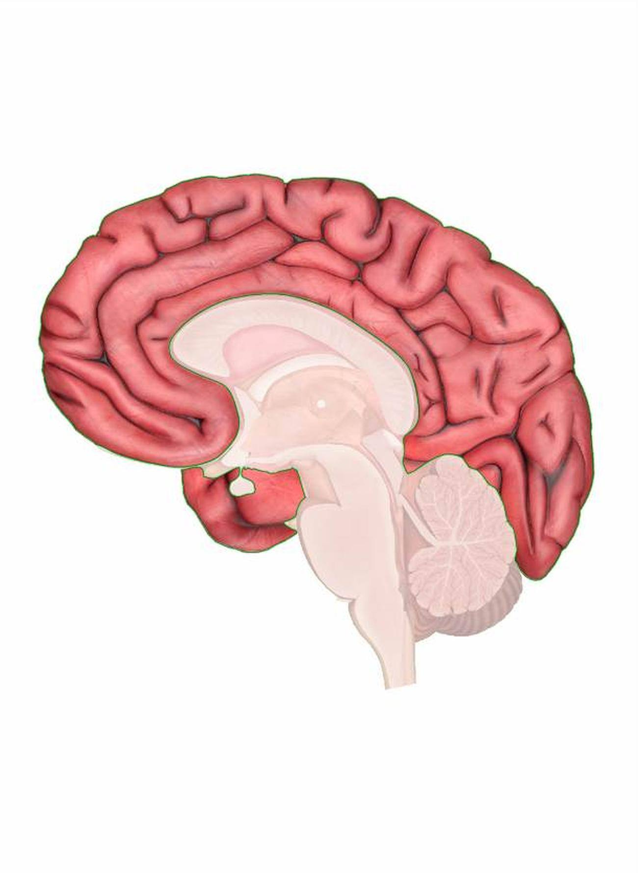 human brain diagram cerebrum 1 way dimmer switch wiring pictures of