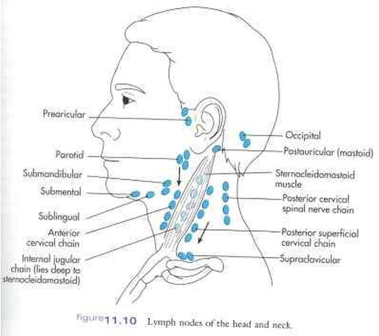 where are my lymph nodes diagram sink drain parts pictures of cervical