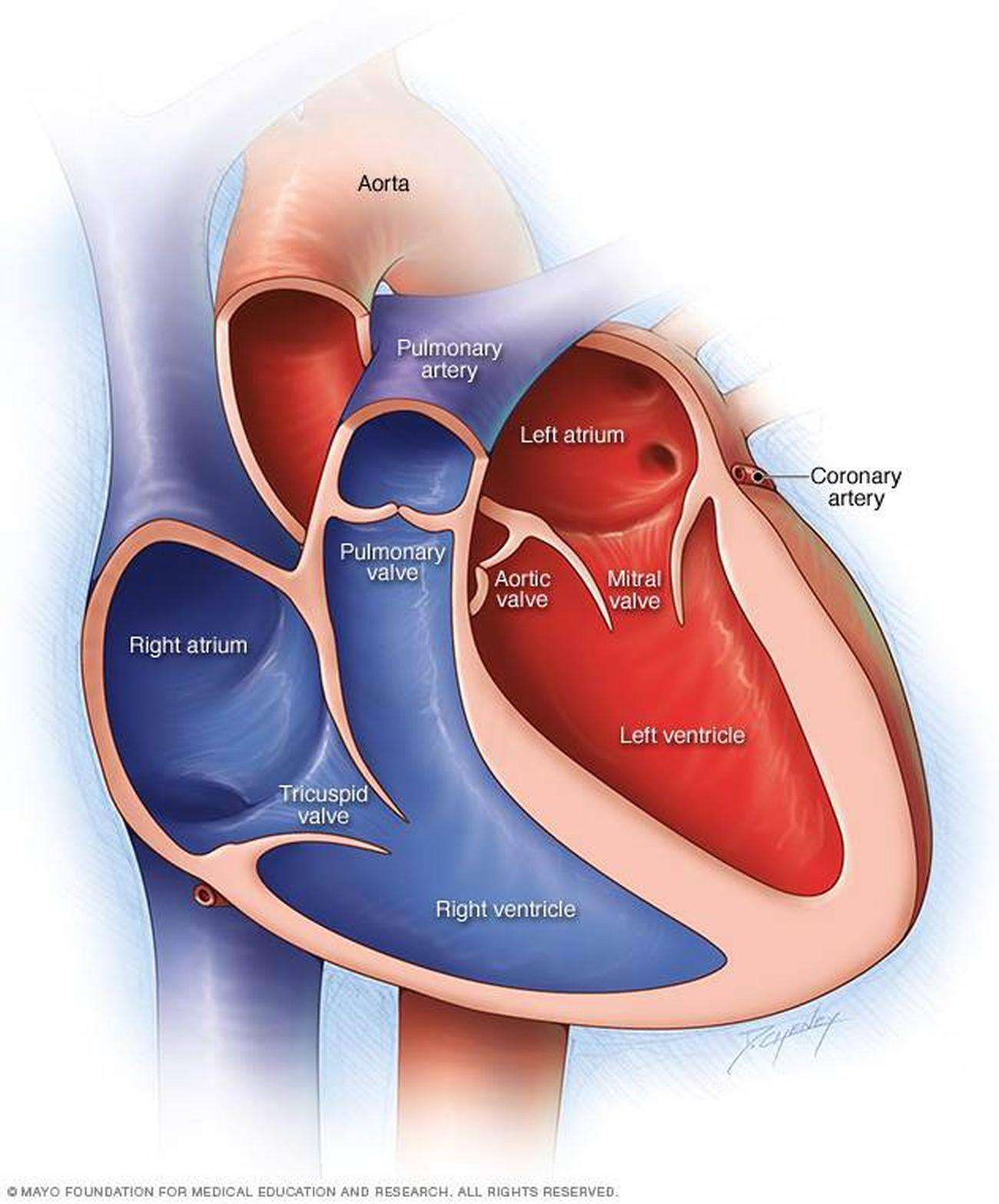 3 chambered heart diagram database architecture pictures of chambers the