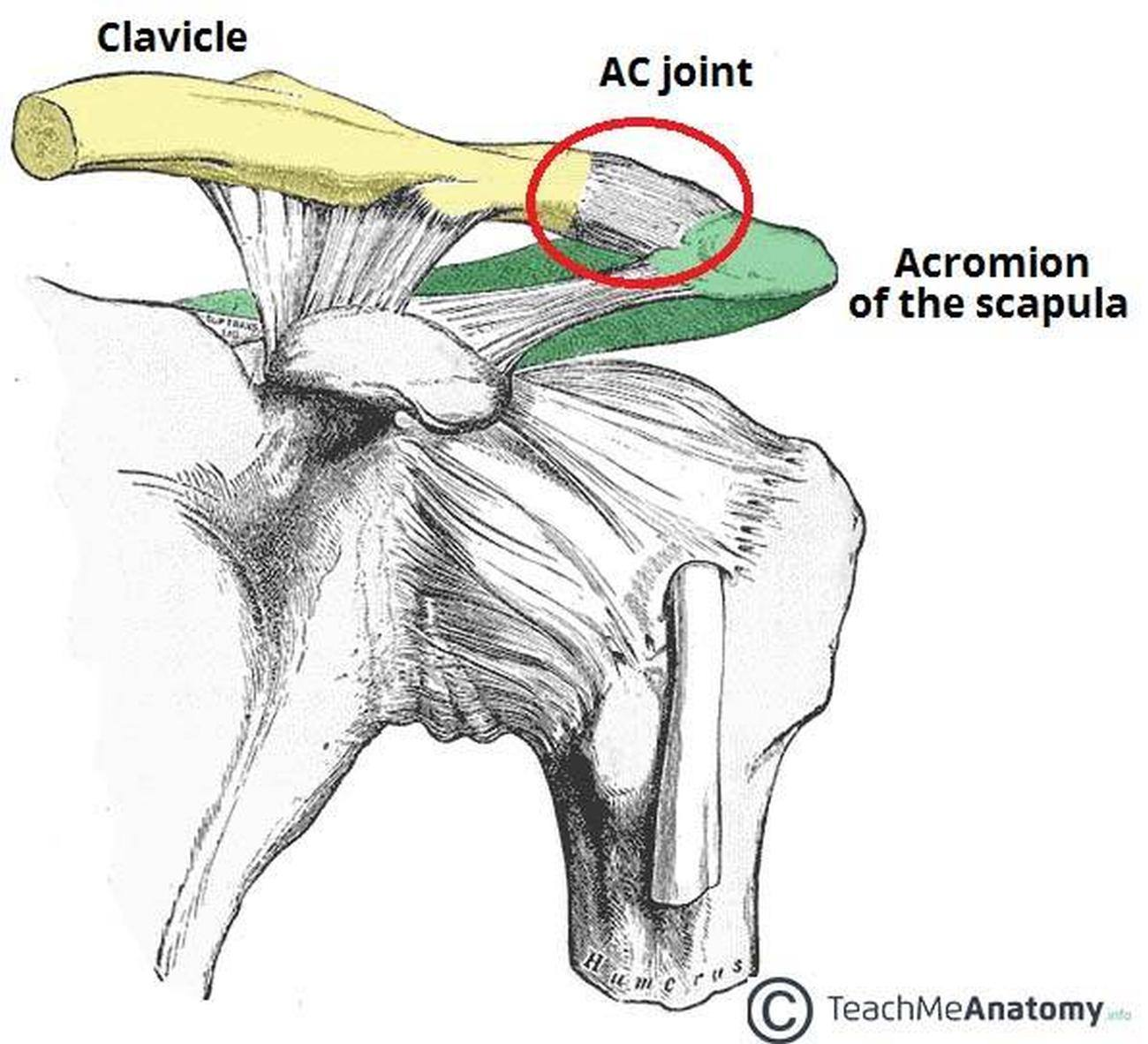 scapula diagram quiz 5 3 defense pictures of acromioclavicular joint