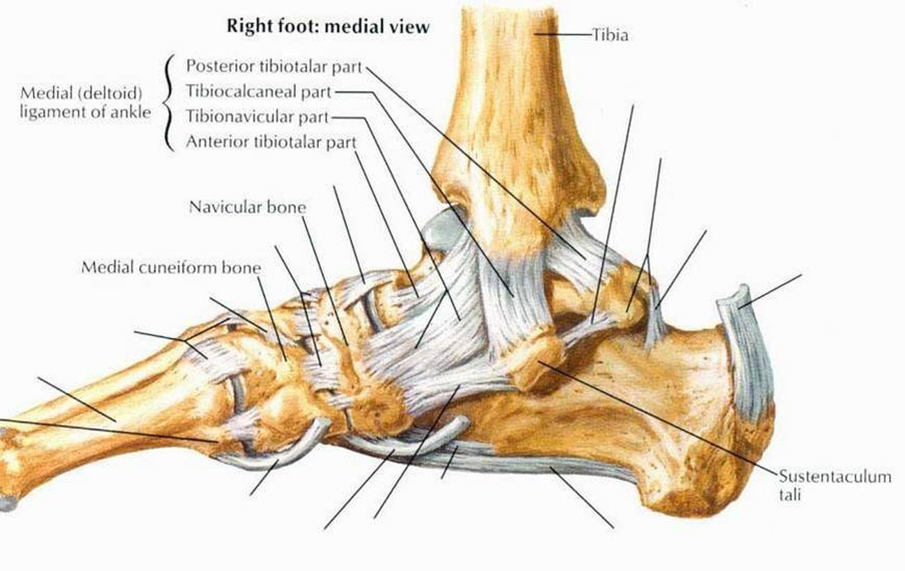 joints of the foot diagram wiring for starter relay pictures ankle joint deltoid ligament