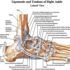 Outside Tendon Hand Diagram Prokaryotic Cell Pictures Of Ankle Joint Ligamentshealthiack