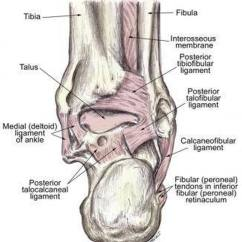 Joints Of The Foot Diagram Freightliner Fld120 Wiring Diagrams Pictures Ankle Joint Ligamentshealthiack