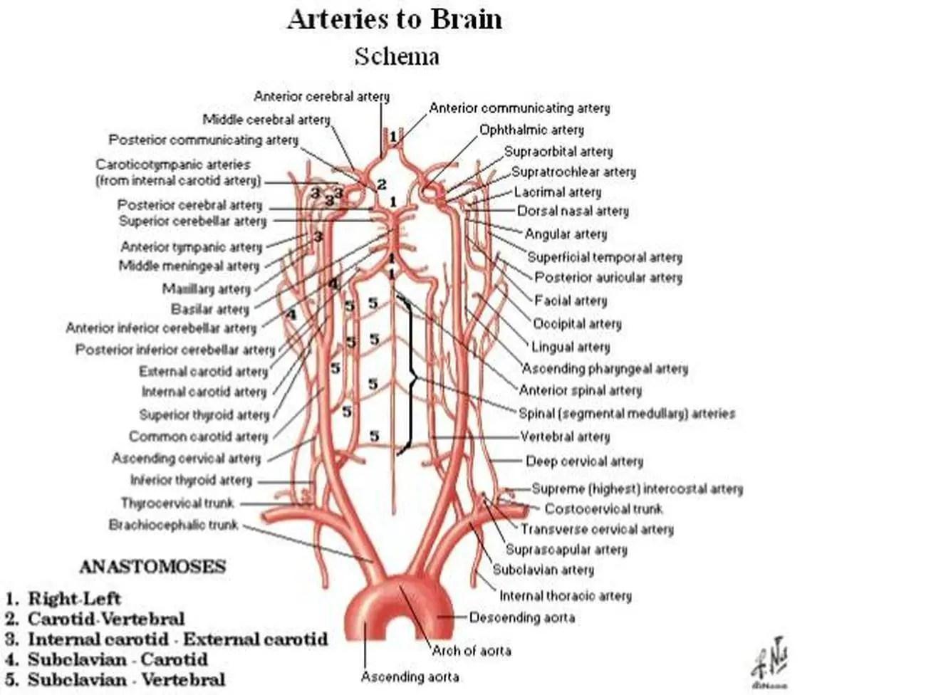 carotid artery diagram acura tl radio wiring pictures of brachiocephalic