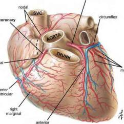 Coronary Arteries Diagram Branches Honeywell Wiring Y Plan Pictures Of Cardiac Vasculature