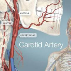 Throat Diagram Front View Hand Nerves Pictures Of Carotid Arteries