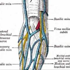 Antecubital Fossa Diagram Ford Mustang Stereo Wiring Pictures Of Cephalic Vein