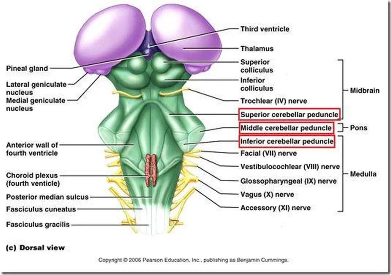 brain diagram thalamus auto start wiring pictures of cerebellar peduncles