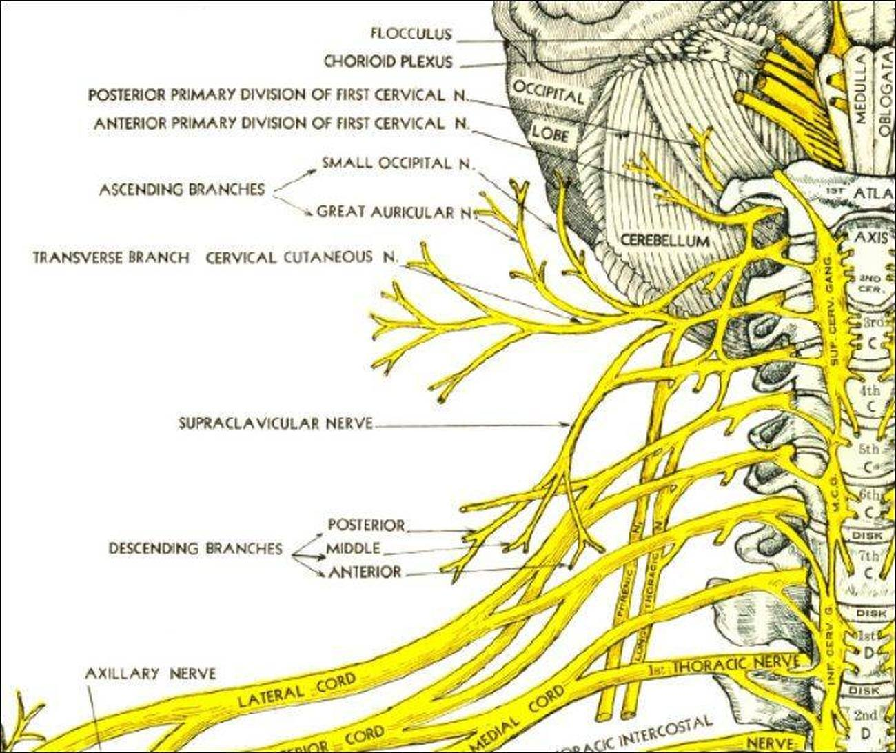 lumbar spinal nerves diagram fujitsu ten stereo wiring pictures of cervical nerve