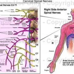 Cervical Vertebrae Diagram Lennox 51m32 Wiring Pictures Of Spinal Nerve