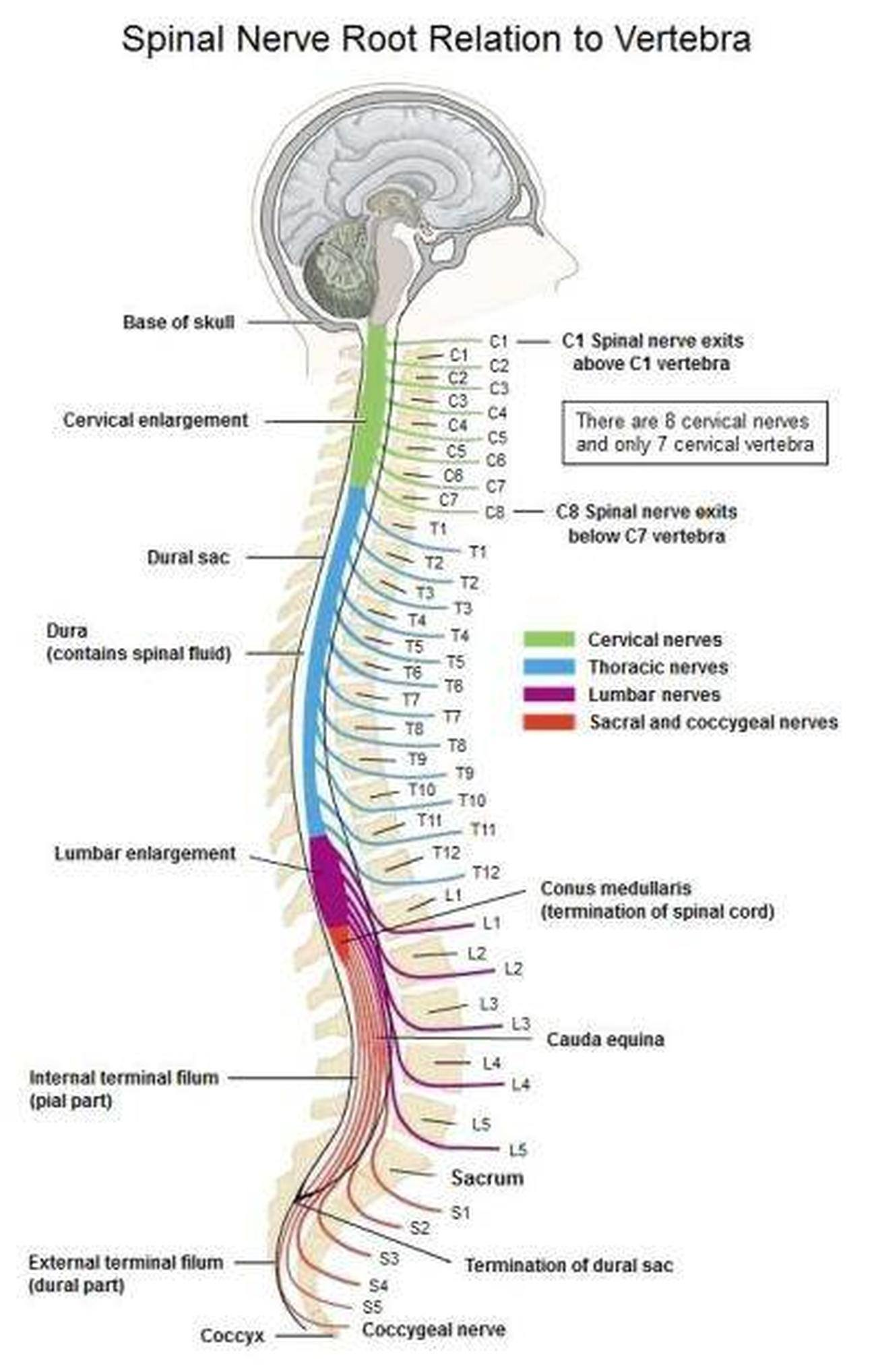 labeled diagram of spinal column light circuit wiring uk pictures cervical nerve