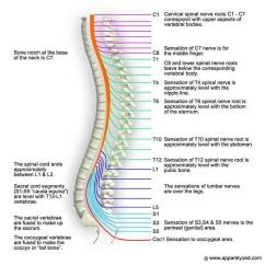 Lumbar Spinal Nerves Diagram Kenmore Wiring Pictures Of Cervical Nerve