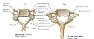 Pictures Of Cervical Vertebra