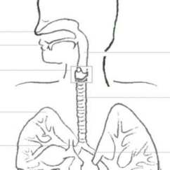 Respiratory Diagram Unlabeled Anterior Heart System