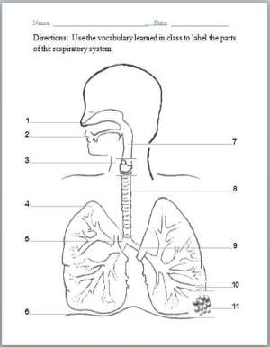 Respiratory system diagram unlabeled