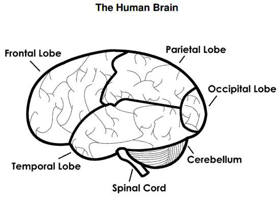 Labeled Brain