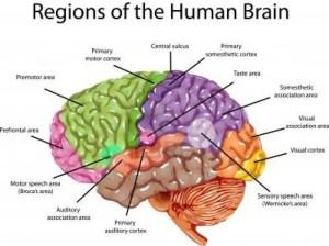 Simple diagram of brain