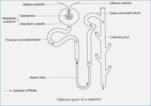 nephron diagram from a textbook polo 9n wiring of all data simple diagrams hubs blank