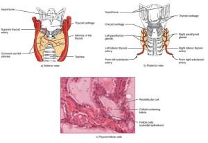 Thyroid gland diagram