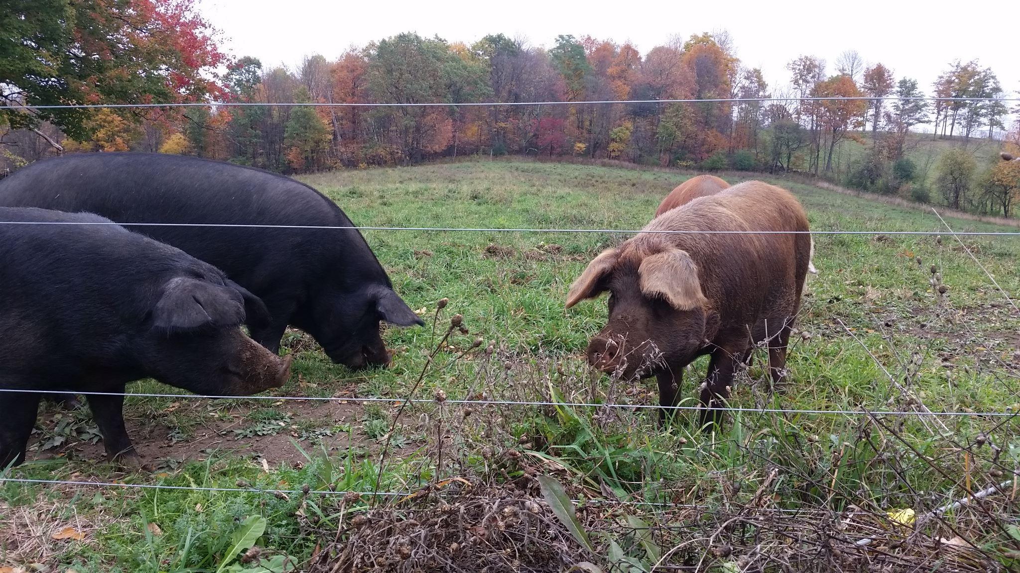 west-wind-acres-hogs