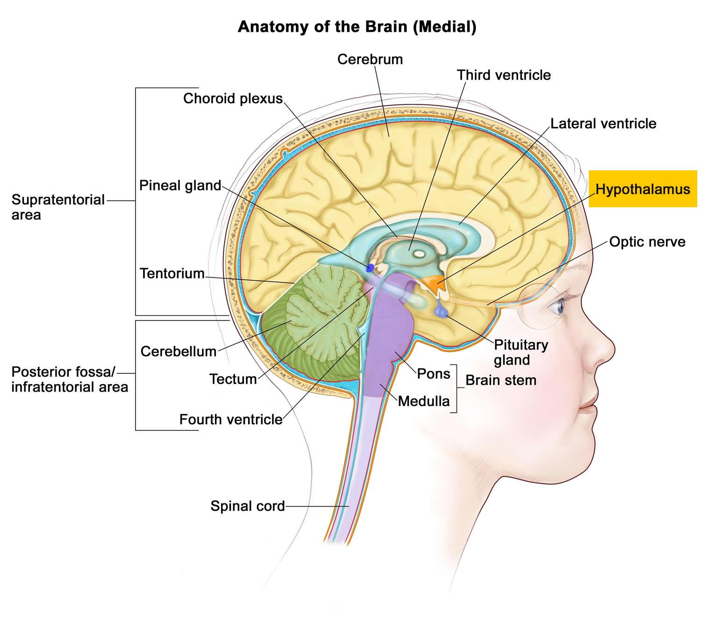 brain diagram pons three phase electric meter wiring hypothalamus functions hormones and disorders