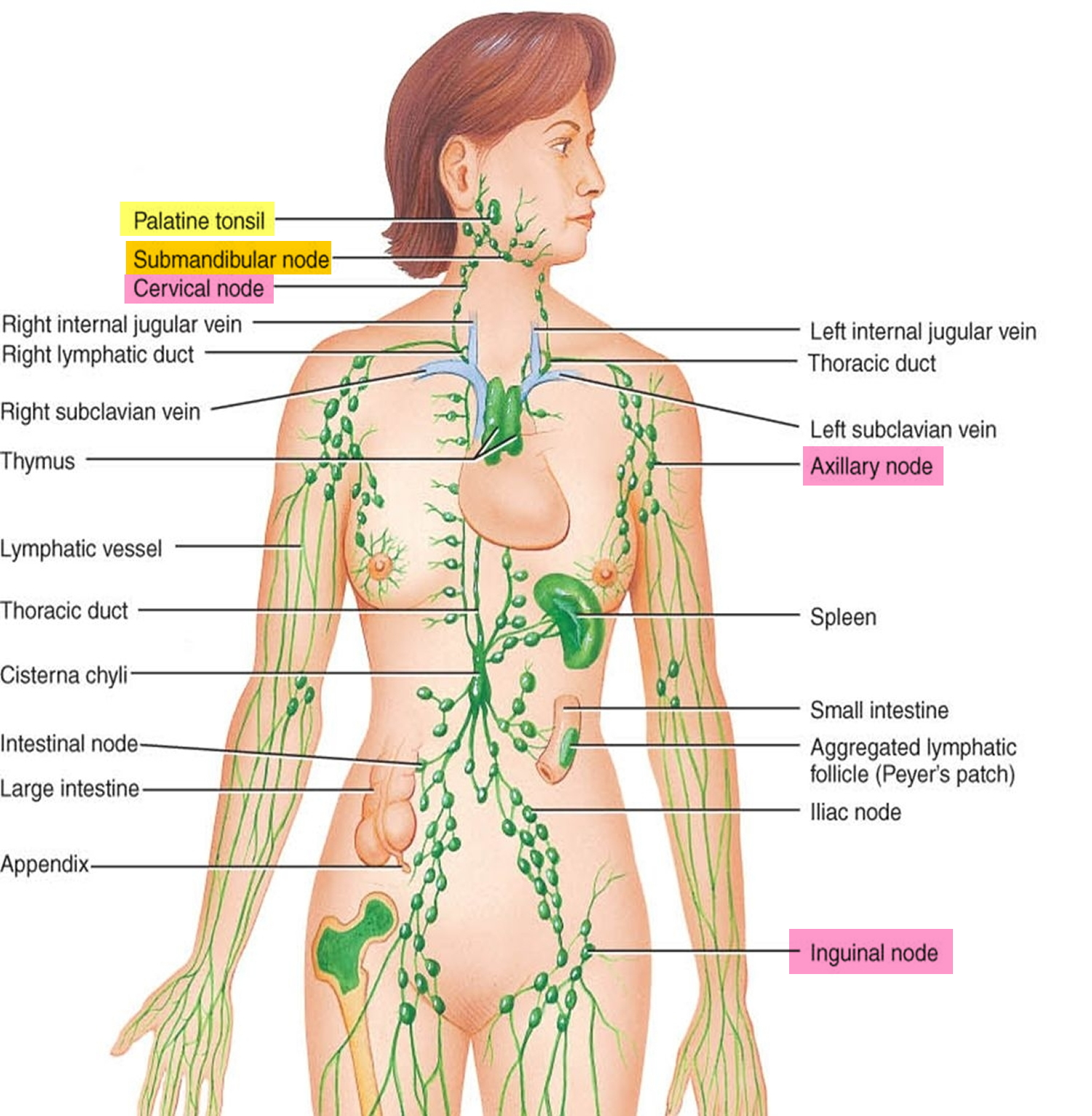 hight resolution of what are lymph nodes