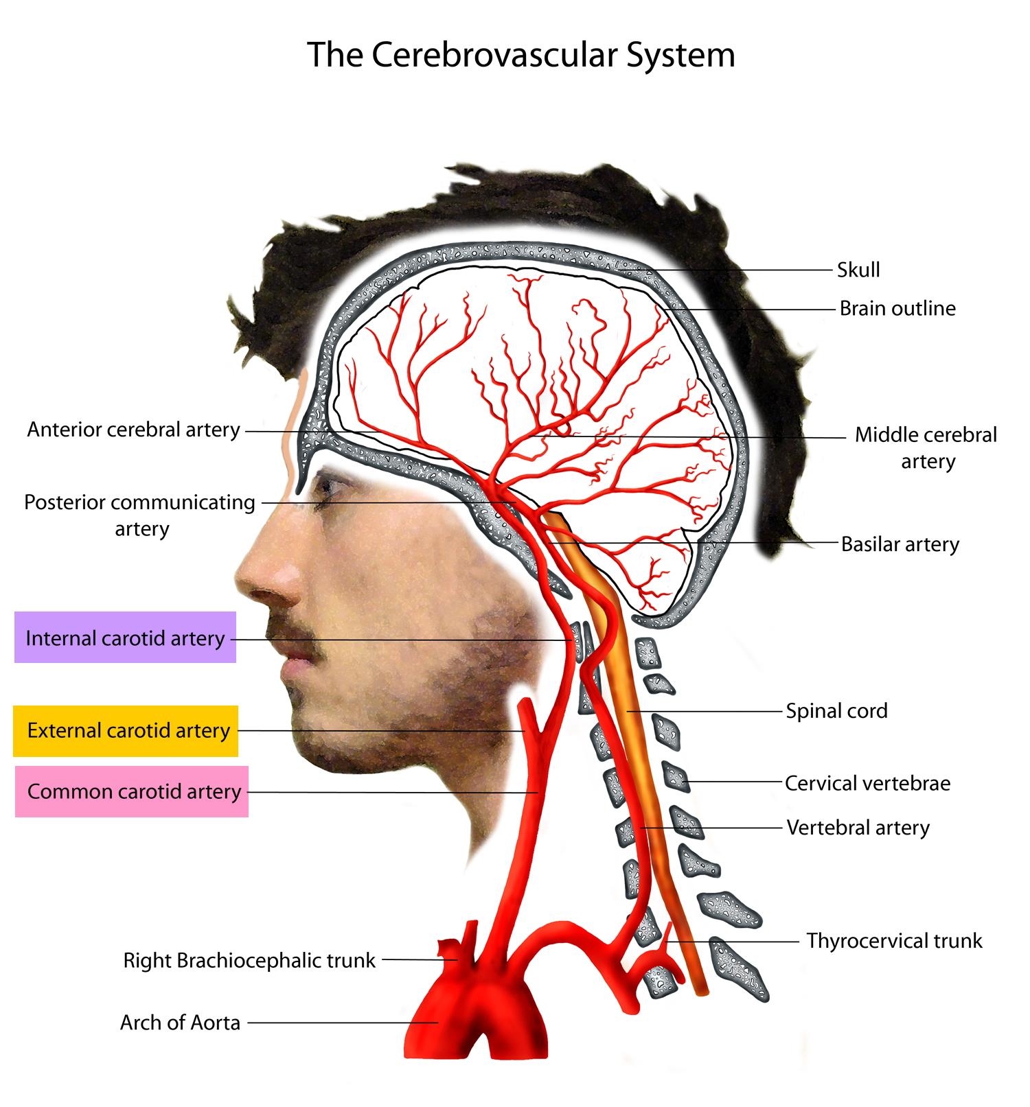 carotid artery diagram wiring dimmer three way switch internal brain frontal lobe usxcleague