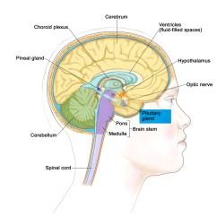 Brain Diagram Thalamus Truck Light Wiring Pituitary Gland Function Disorders And Tumors