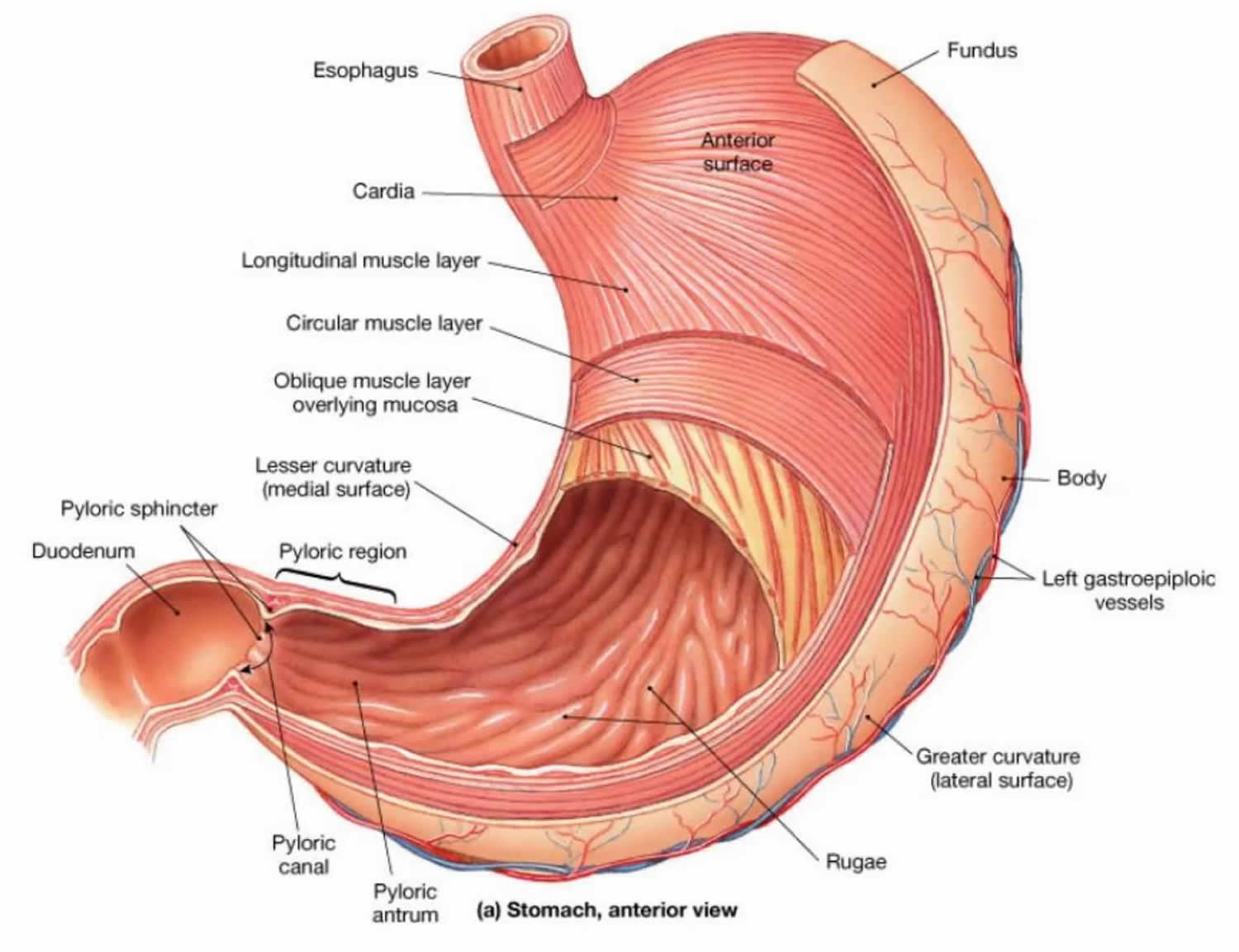 hight resolution of the stomach organs parts anatomy functions of the human stomach