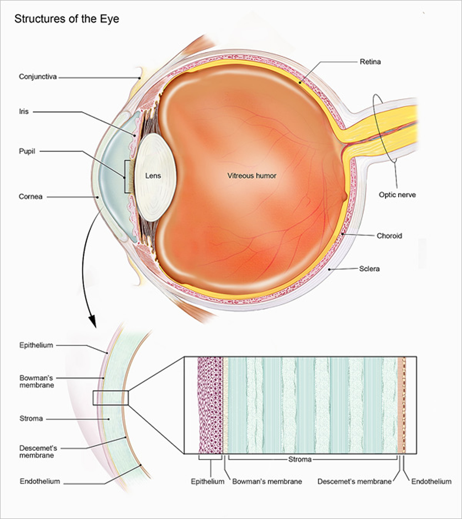 eye diagram of chicken trailer wire 6 pin human anatomy parts the and structure