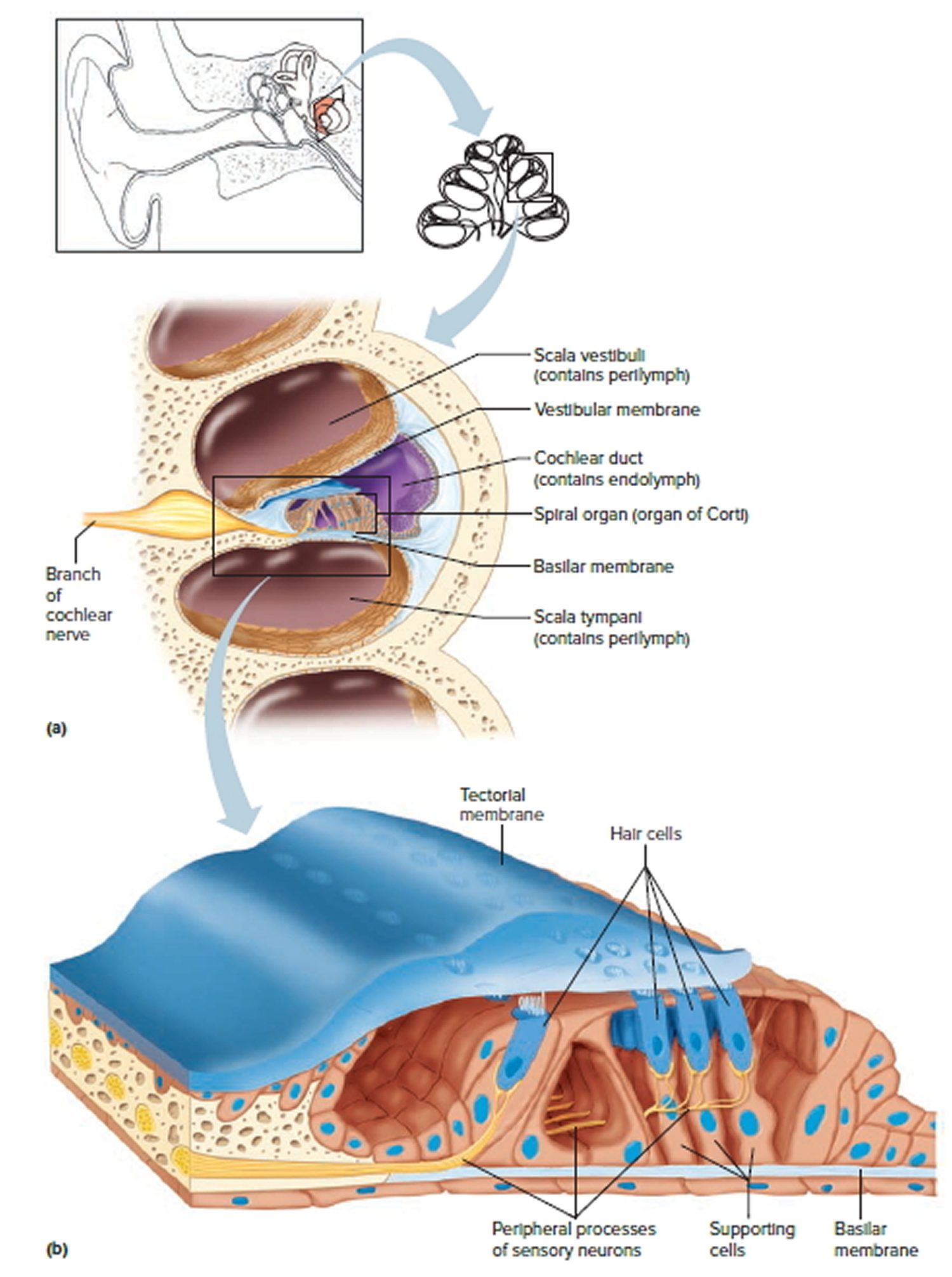 hight resolution of the cochlea