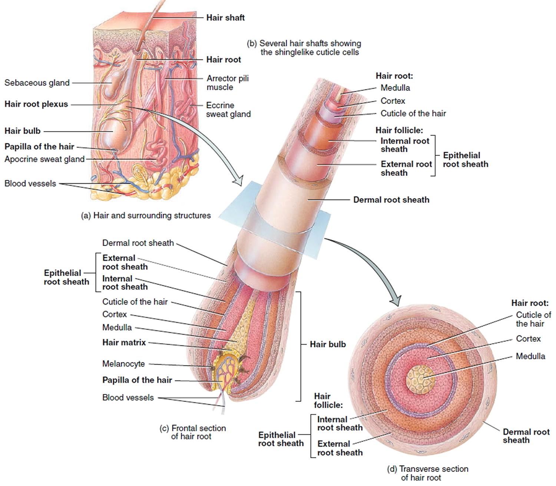 Diseases Of The Terminal Hair Follicle