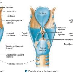 Swallowing Food Diagram Mitsubishi Montero Radio Wiring Pharynx Anatomy And Function In Respiratory System
