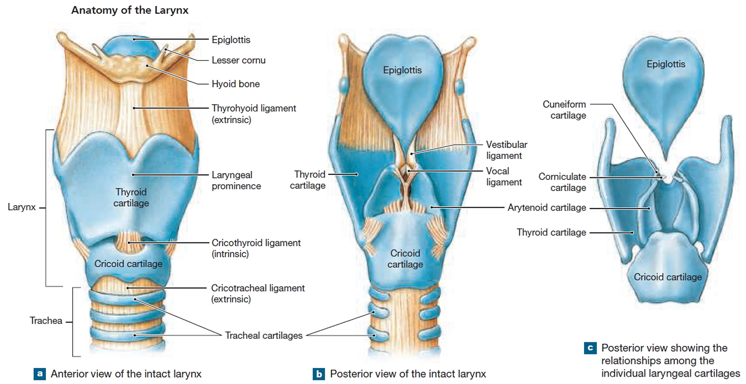 thyroid and larynx anatomy diagram wiring for samsung dryer pharynx function in respiratory system