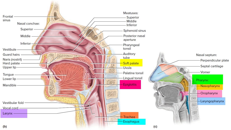 diagram of throat and esophagus 4 cylinder firing order anatomy pharynx larynx trachea impremedia